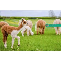 £10 instead of £20 for a one-hour 'cria watch' baby alpaca experience with feed included for one person, or £20 for two people at Charnwood Forest Alpacas, Ashby-de-la-Zouch - save 50% - Theme Parks Gifts