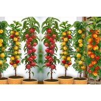 £19 instead of £59.99 for four pillar fruit tree collection from PlantStore - save 68% - Fruit Gifts