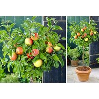 £19 instead of £38.99 (from Plant Store) for a compact patio apple tree - save 51% - Apple Gifts