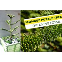 £14.99 instead of £69.99 (from Bentleys) for one monkey puzzle tree, or £22.99 for two trees - save up to 79% - Puzzle Gifts