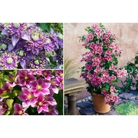 £17 instead of £28.97 (from Plant Store) for a collection of three Fantasy Clematis Plants, £27 for six - save up to 41% - Fantasy Gifts