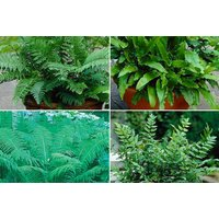 £14.99 instead of £59.99 (from Bentleys) for a set of four exotic garden ferns – save 75%. - Garden Gifts