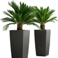a pair of king sago palm trees from PlantStore  save 70%