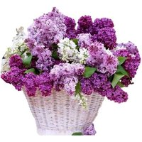 £24 instead of £74.99 for three fragrant lilac shrubs from PlantStore - save 68% - Lilac Gifts