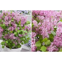 £14.99 instead of £39.99 for two dwarf korean lilac shrubs from PlantStore - save 63% - Lilac Gifts