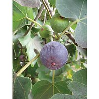 Unwins Brown Turkey Bare Root Fig Tree