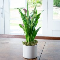 Calla Lily Plant