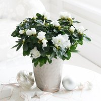 Christmas Azalea Plant