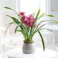 Cymbidium Orchid Plant