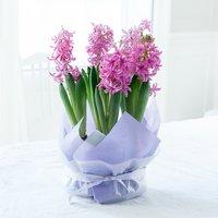 Gift Wrapped Hyacinth Bulbs