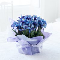 Gift Wrapped Iris Bulbs