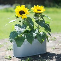 Outdoor Sunflower Trough
