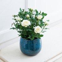 White Sympathy Rose Plant