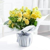 Yellow Begonia Plant