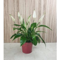 Zimmerpflanze Einblatt
