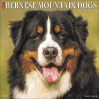 Just Bernese Mountain Dogs Calendar 2020 - Dogs Gifts