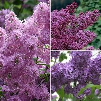 Fragrant French Lilac Collection - 3x Established Plants