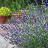 Lavender Lavandula Intermedia Phenomenal - Single Established Plant
