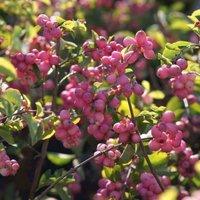 Snowberry Symphoricarpus Doorenbosii Magical Candy