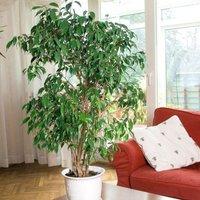 Ficus Benjamina Exotica Weeping Fig 90cm Plant in a 21cm Pot