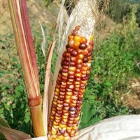 Mais Indian Multicolor Samen