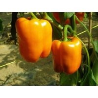 Orange Sun Chili Samen
