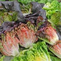 Salat Intred Samen