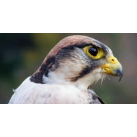 Click to view details and reviews for 3 Hour Falconry Premier Experience In Northampton.