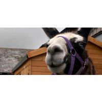 Meet the Llamas Experience for Two in Devon - Experiences Gifts