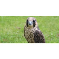 Full Day Falconry Experience Kids - Warwickshire - Falconry Gifts