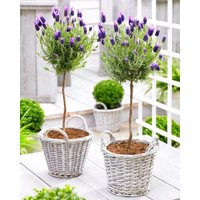 Pair of Beautiful French Lavender Trees