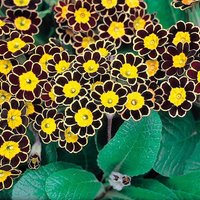 Primula Gold Lace - Gold Laced Polyanthus - Pack of THREE Pl