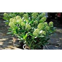 Skimmia japonica Thereza - LARGE Plant