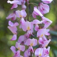 Wisteria floribunda Rosea - Pink Japanese Wisteria - Large Specimen Plant 6ft+