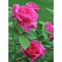 Climbing Rose Zephirine Drouhin - The Thornless Rose