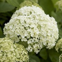 Hydrangea Annabelle - Pack of THREE Large Flowered Hydrangea Plants