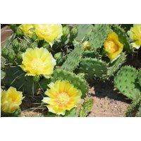 Opuntia humifusa - Hardy Cactus