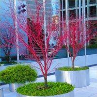 Acer palmatum Sango Kaku - Coral Bark Maple - XXXL Heavy Grade 6-8ft Tree