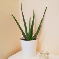 Aloe Vera - Succulent Plant in a Classic White Display Pot