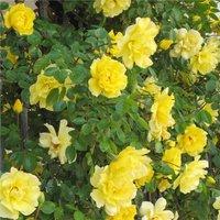 Large 6-7ft Specimen - Climbing Rose Golden Age