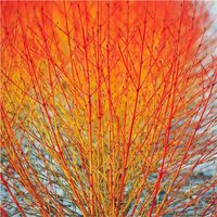 EXTRA LARGE Cornus sanguinea Midwinter Fire - super bushy Dogwood