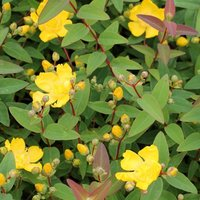 Hypericum x hidcoteense Hidcote - St. Johns Wort