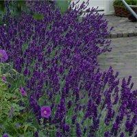 Lavendula angustifolia Hidcote - English Lavender Hidcote Blue