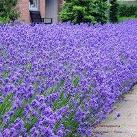 Munstead English Lavender - Lavandula angustifolia Munstead - Pack of THREE Plants