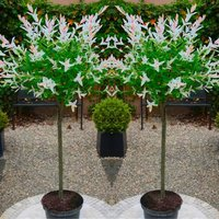 Pair of Standard Topiary Trees Salix Flamingo with Large Flared Decorative Planters