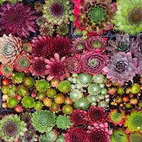 Pack of TWELVE Evergreen Sempervivum Houseleeks - Hardy Succulent Plants