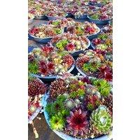 Evergreen Succulent Garden - Sempervivum Houseleek Garden in Zinc Bowl
