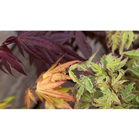 Hardy Acers Maples Collection