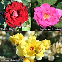 Climbing Rose Collection x 3 Bushes