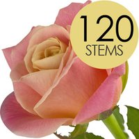 120 Wholesale Peach Roses